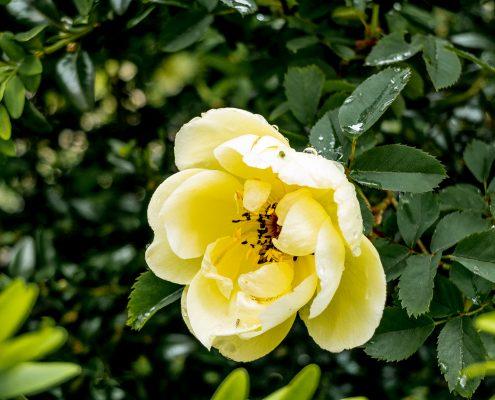 Gelbe Blüte - Schlosspark Schwetzingen - Tim Wullbrandt
