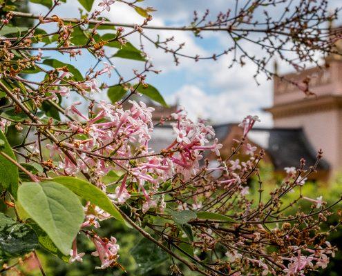 Rosa Blüten - Schlosspark Schwetzingen - Tim Wullbrandt